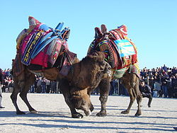 Camel Wreslting