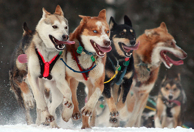 Iditarod in Anchorage, Alaska